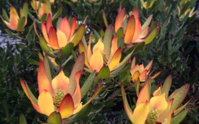 Caring for your Protea Family plants