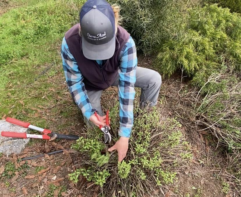 How to Prune Salvias: Spring Edition