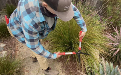 (Video) How to Prune Lomandra